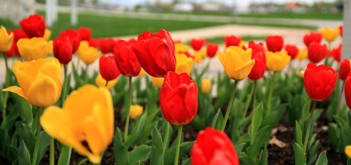 https://www.riteawaylawncare.com/wp-content/uploads/2012/06/Tulips.jpg